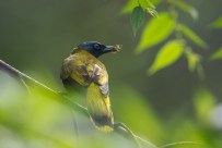 A Black-headed Bulbul with a recently caught spider that it carried away soon after.
