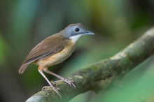 A Short-tailed Babbler along Golf Link trail at Macritchie Reservoir. Calling loudly for a mate