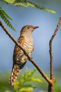 A young female Violet Cuckoo. The crown is brownish. This was taken at Neo Tiew Lane 2.