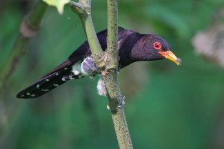 A male Violet Cuckoo with a caterpillar.