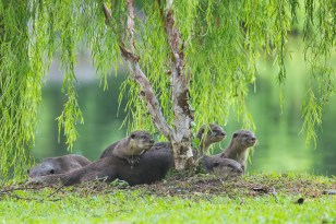 The otters are looking curiously at some people at the palm grove on the right, trying to get a closer peep.