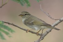 Arctic Warbler at Tuas South