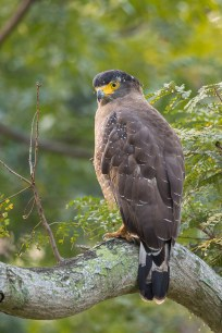 Crested Serpent Eagle at Japanese Garden