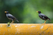 Javan Myna at Bidadari