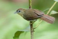 Pin-striped Tit-Babbler at Rifle Range Link