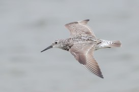 Great Knot at Seletar Dam