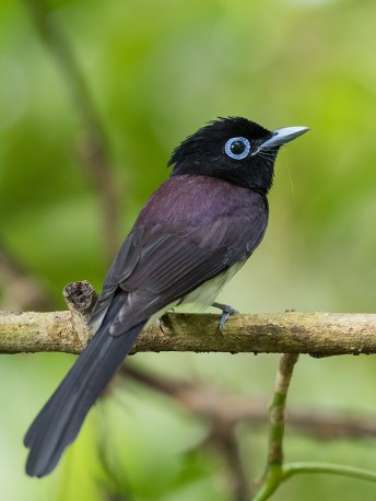 Japanese Paradise Flycatcher at Mandai