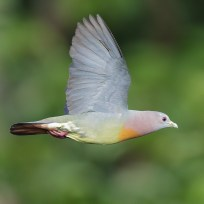 Pink-necked Green Pigeon at Jelutong Tower
