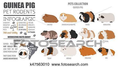 guinea pig breeds infographic template