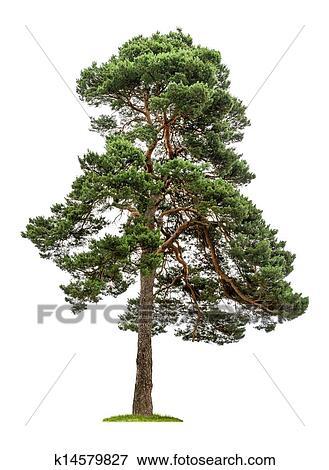 isole arbre pin sur a fond blanc banque de photo