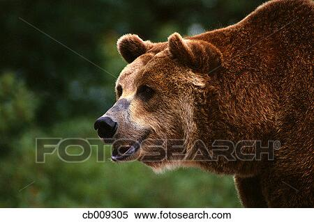 Stock Image of Grizzly Bear with Open Mouth cb009305 ... (450 x 319 Pixel)