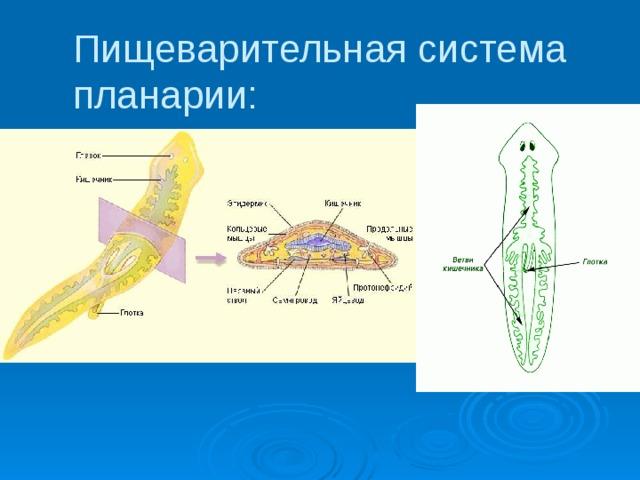 a flukes és a galandférgek szerkezeti jellemzői