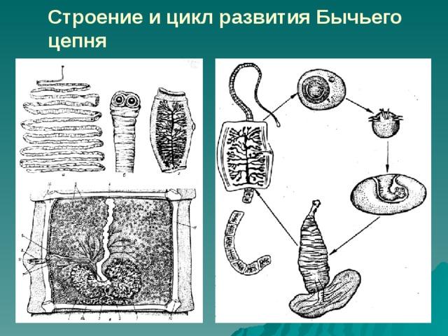 típusú laposférgek osztályú szalagféregek