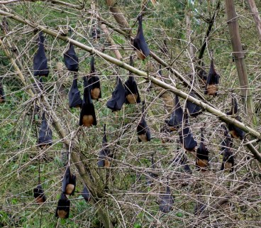 An Indian flying fox roost (Photo by Kadambari Deshpande)
