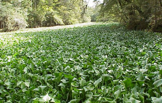NEIGHBORS TO REMOVE INVASIVE SPECIES FROM BAYOU ST. JOHN ON JUNE 20 and JUNE 24