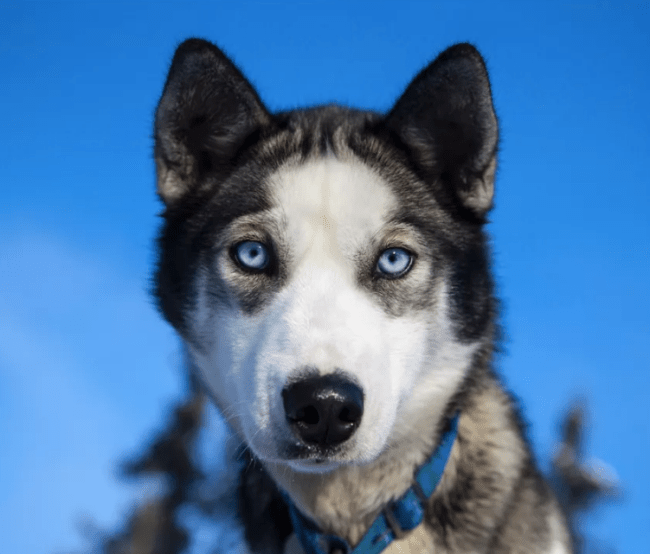 Blue Why Eyes Huskies Are