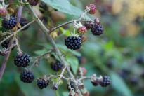 Rounded blackberries