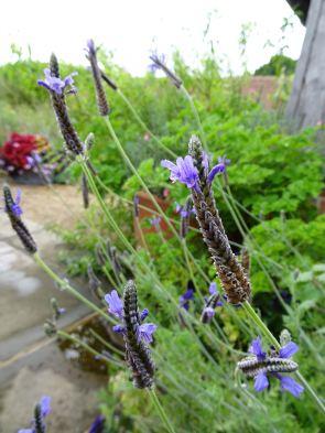 Possibly tender lavender