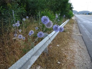 Roadside Ecinops - can't grow these at home, but here they are like weeds