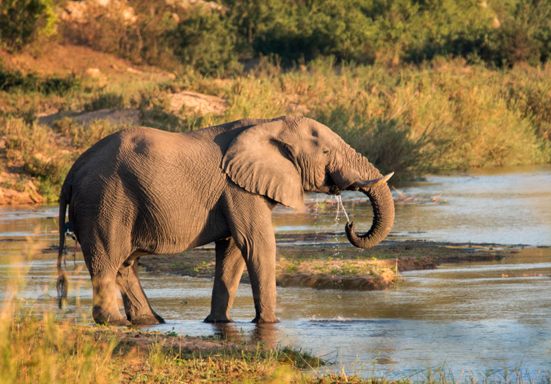 Thirsty elephant at sunrise. Nikon d800 + Tamron SP AF 150-600mm lens, 600mm @ f/8, 1/640 second, ISO900.