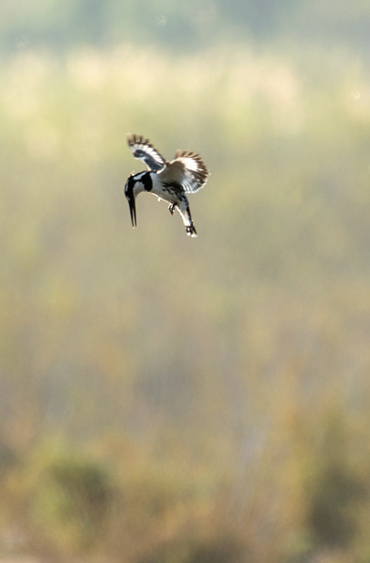 Pied kingfisher hovering, which flew away only seconds after this shot was taken. Nikon d800 + Tamron SP AF 150-600mm lens, 600mm @ f/8, 1/640 second, ISO360