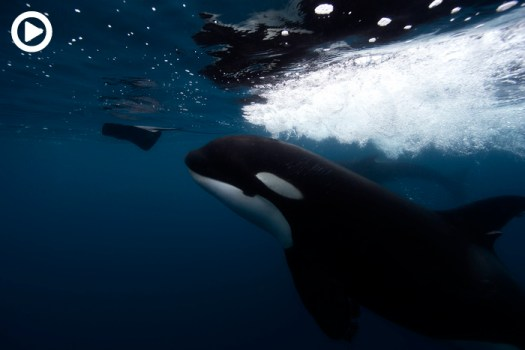 Stunning Orca Whale Video Reveals Unusual Predatory Behavior