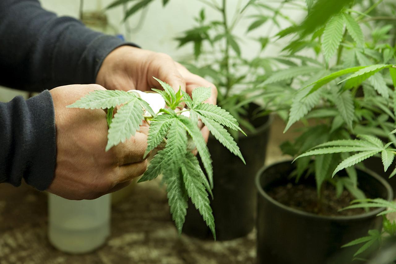 Marijuana Photo Gallery For Parents