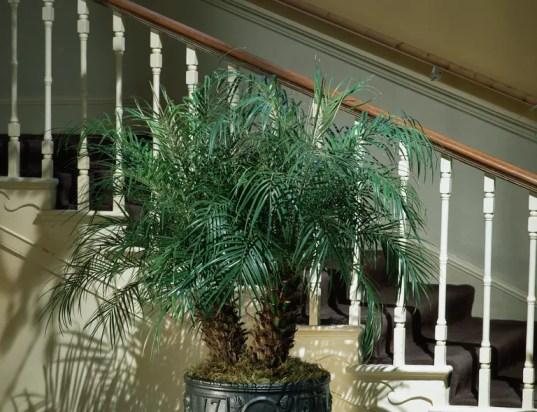 Miniature Date Palm