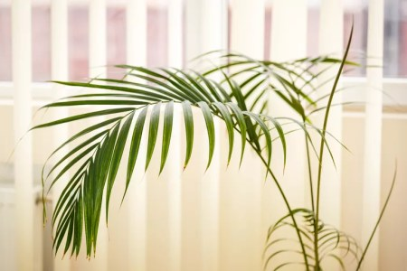 Close up of a green palm plant areca palm on a white background