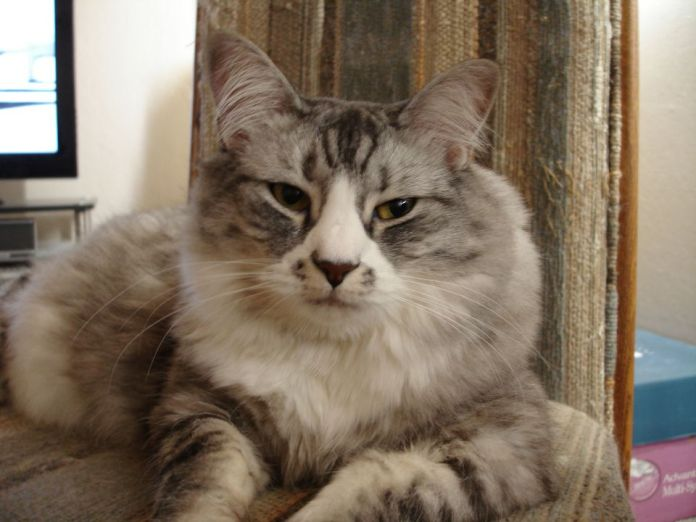 Picture of Maine Coon Mix Cat