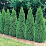Pruning Arborvitae After Snow Damage Trimming Tips