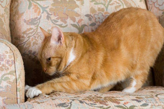 Tabby cat scratching a chair