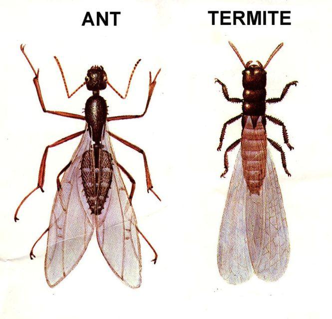 Winged Black Antsthinkstockphotos 508421989 1 Garden Ants