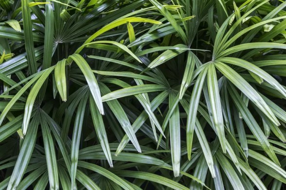 Rhapis excelsa or Lady palm in the garden