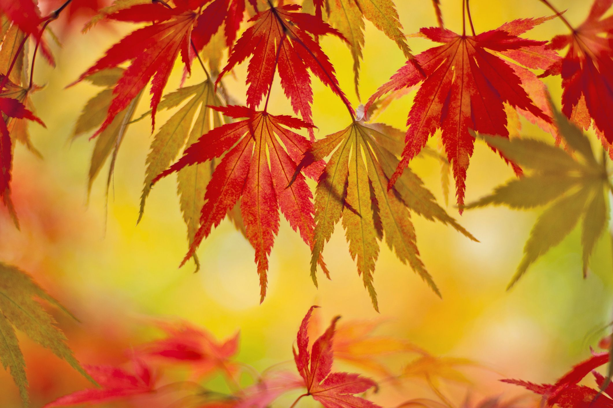 How To Protect Japanese Maple Trees From Winter Damage