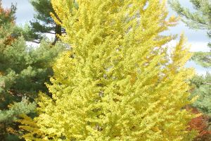Drought Tolerant Trees Examples For Your Landscaping