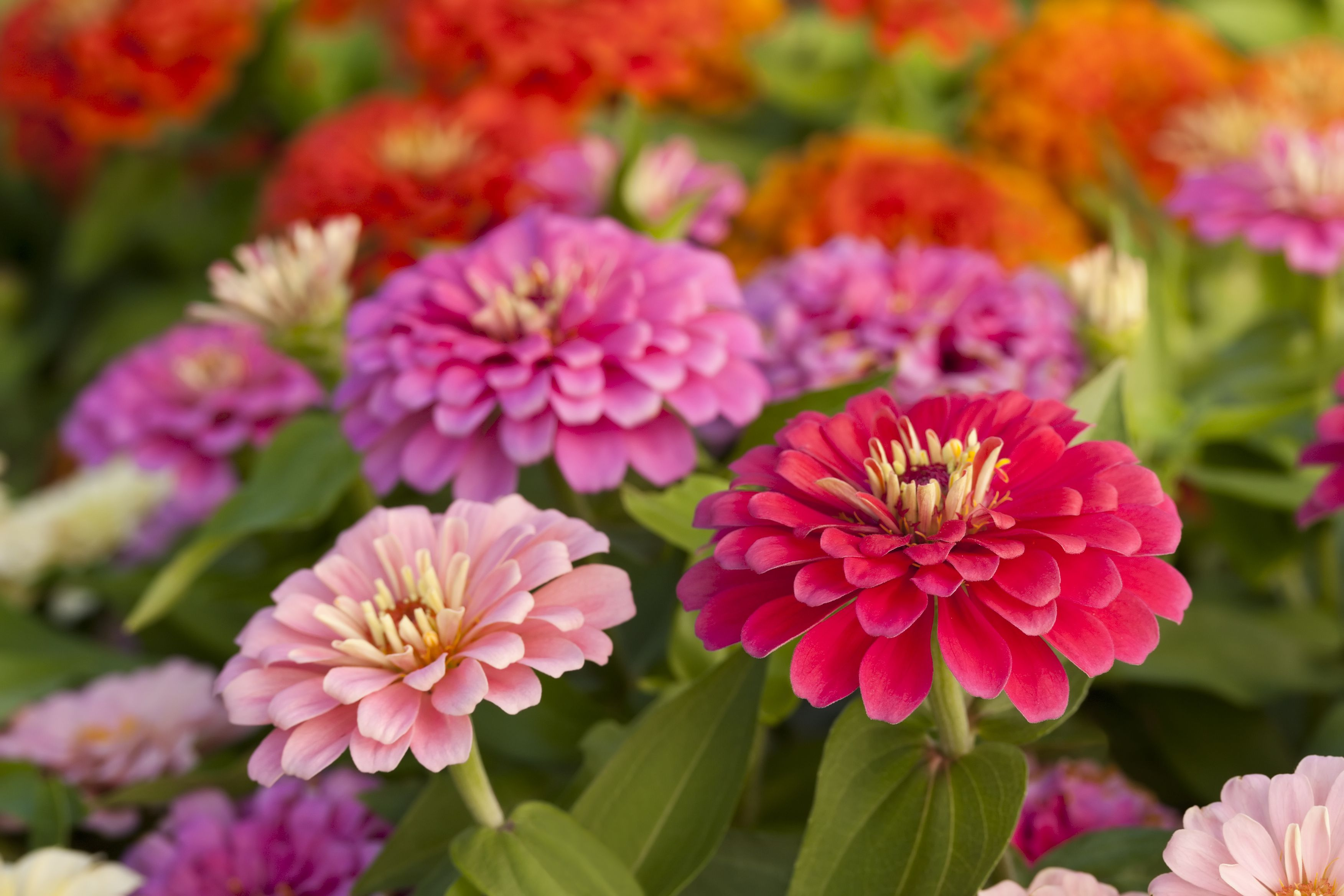 How To Plant Zinnia Seeds