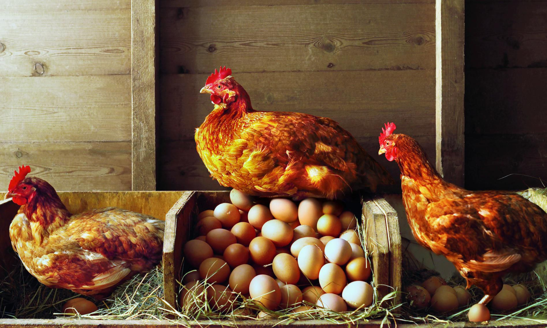 Top 10 Tips For Building A Chicken Coop