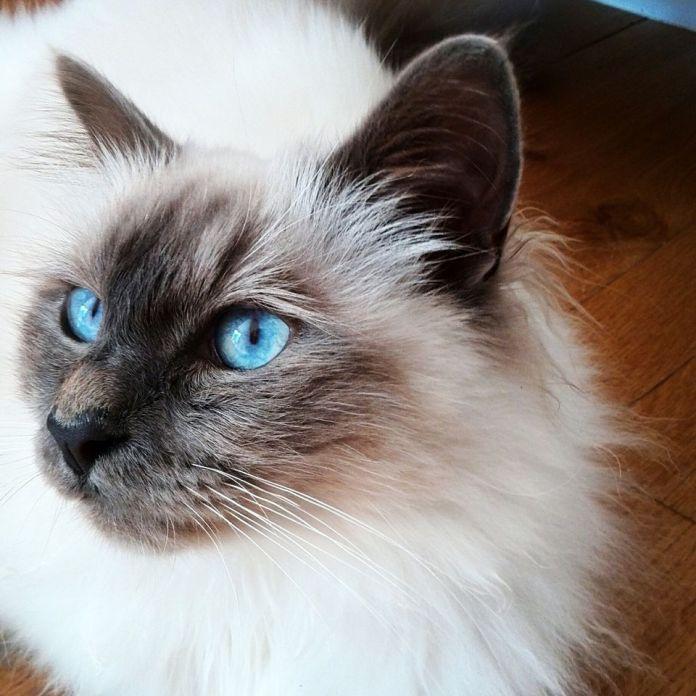 Birman cat photo