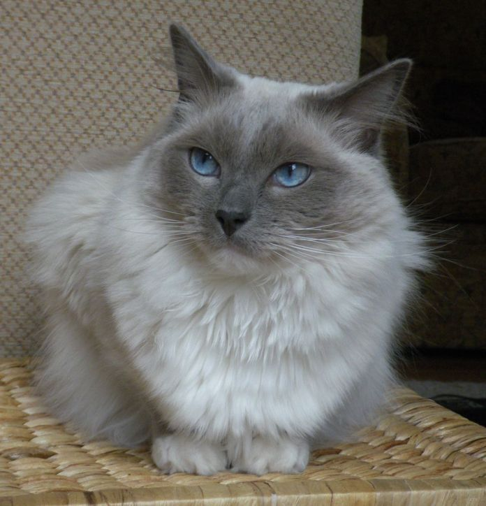 Photo of a Ragdoll cat with blue eyes