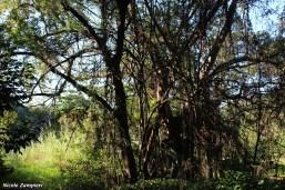 Ficusaurea00003
