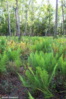 cinnamon fern00001