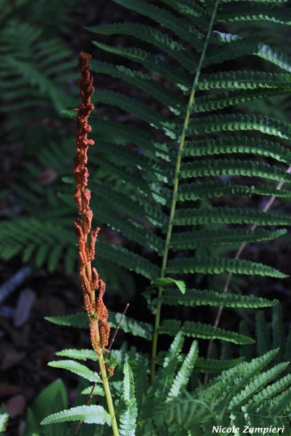 cinnamon fern00003