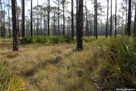 cutthroat grass flatwoods00003