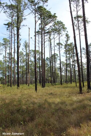 cutthroat grass flatwoods00004