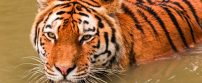 A tiger in the zoo of Gelsenkirchen