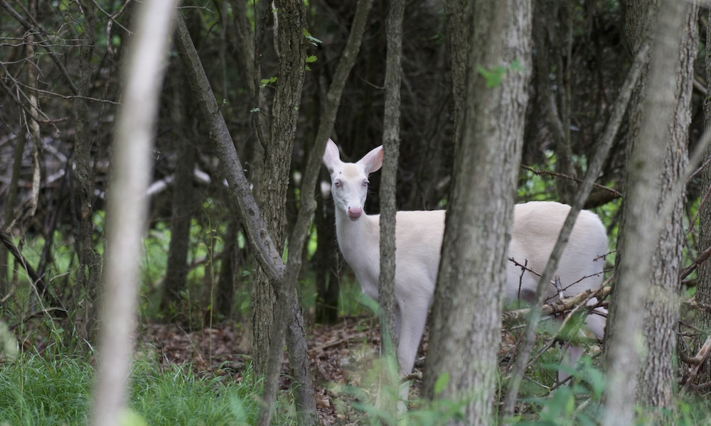 Hunters face charges after illegal killing of albino deer