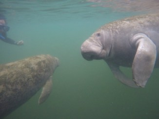 Swim with Manatee Plantation on Crystal River via @FieldTripswSue