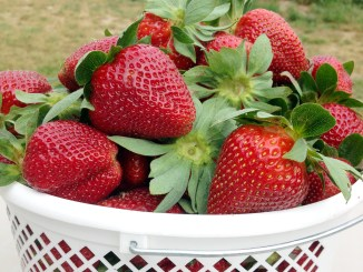 Strawberry Picking in Georgia: Mitcham Farms