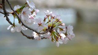 桜の名所 夙川公園へ!